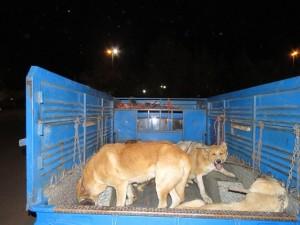 اجرای مرحله دوم طرح زنده گیری سگ های ولگرد در شهر خامنه